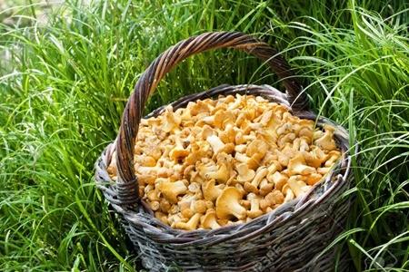 Вкусные и полезные лисички — как сушить в домашних условиях и каким образом использовать?