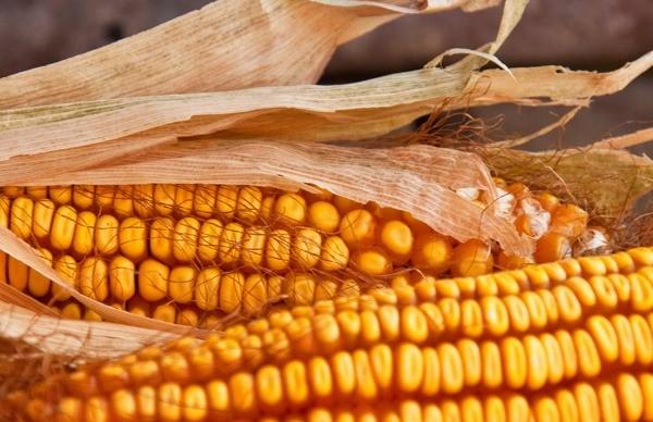 Кукуруза для попкорна и не только: как сушить, хранить и что приготовить из зерен?