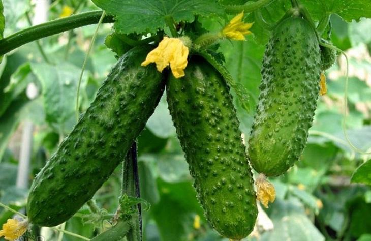 Огурцы на зиму: сушка нестандартных продуктов