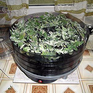 Целебная трава пустырника: заготовка и сушка на зиму