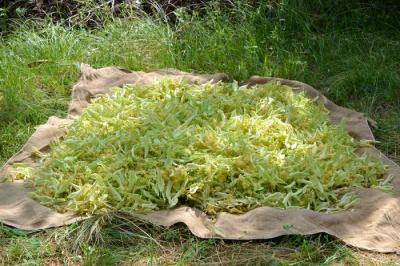 Польза круглый год: как сушить липовый цвет и листья